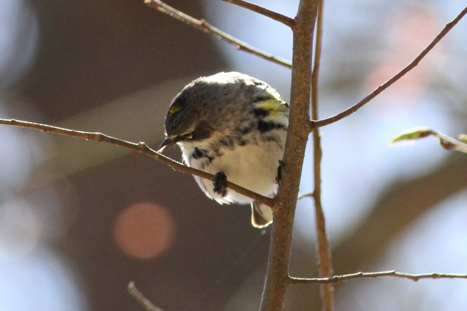 Female yellow-rumped warbler licking an aphids from the tree branch?