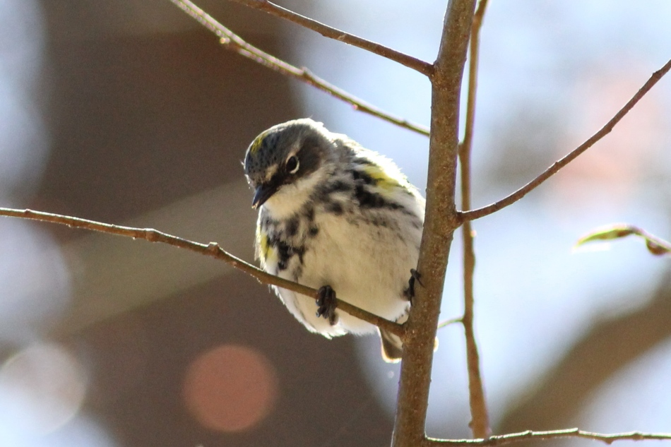 Female yellow-rumped warbler with an aphid stuck to the end of its beak?
