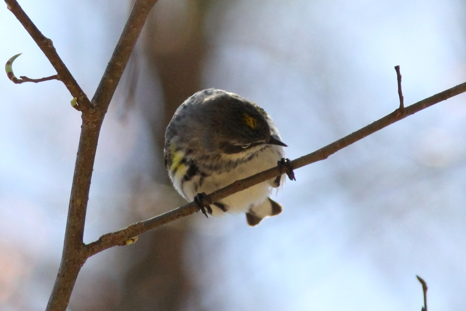 Female yellow-rumped warbler looking for aphids?