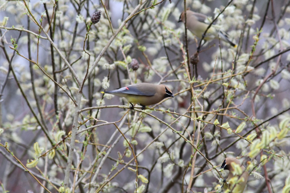 Cedar waxwings and willow catkins