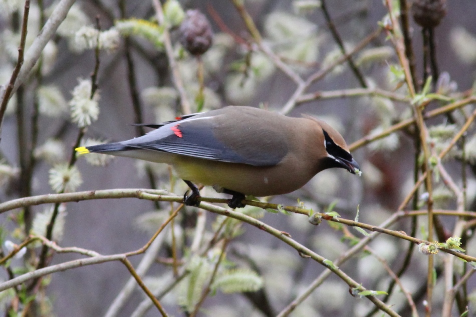 Cedar waxwing eating a willow catkin