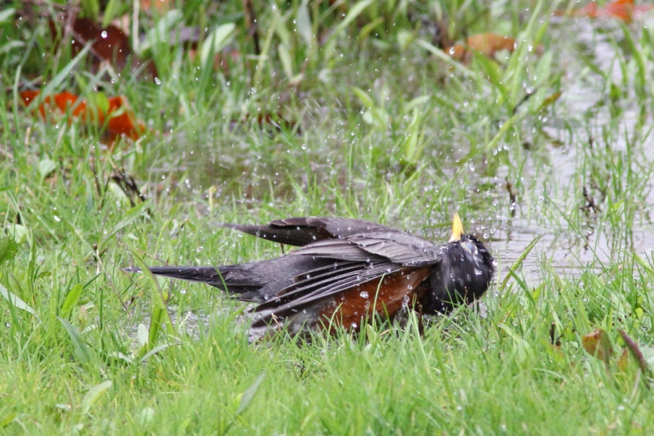 American robin showering