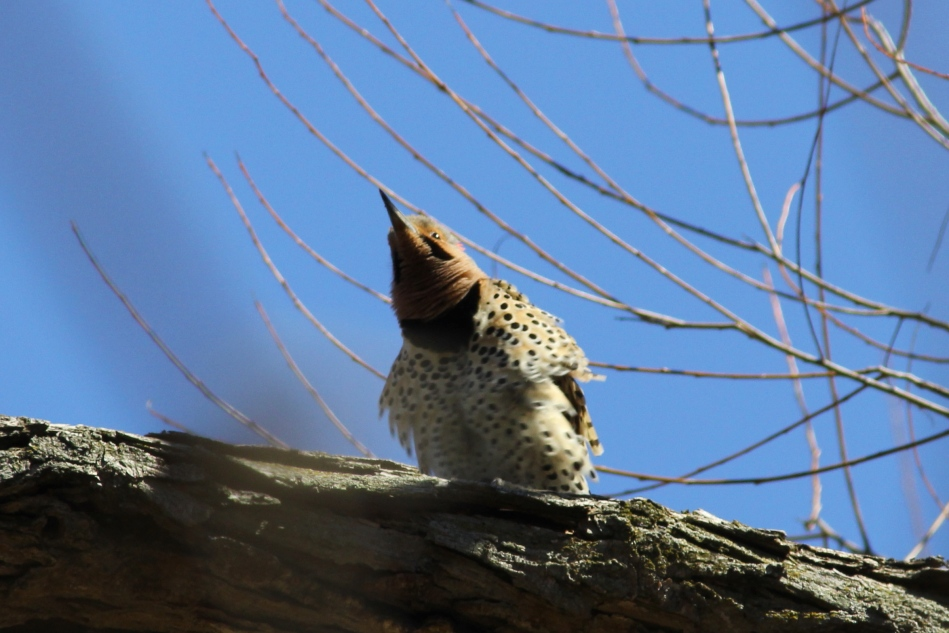 Male Northern flicker doing his mating dance