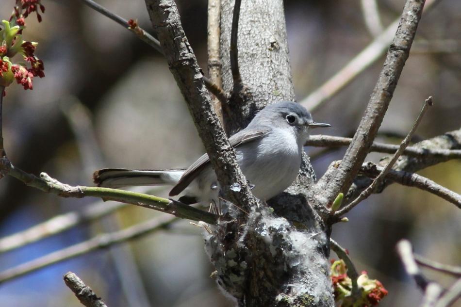 Blue-grey gnatcatcher building its nest