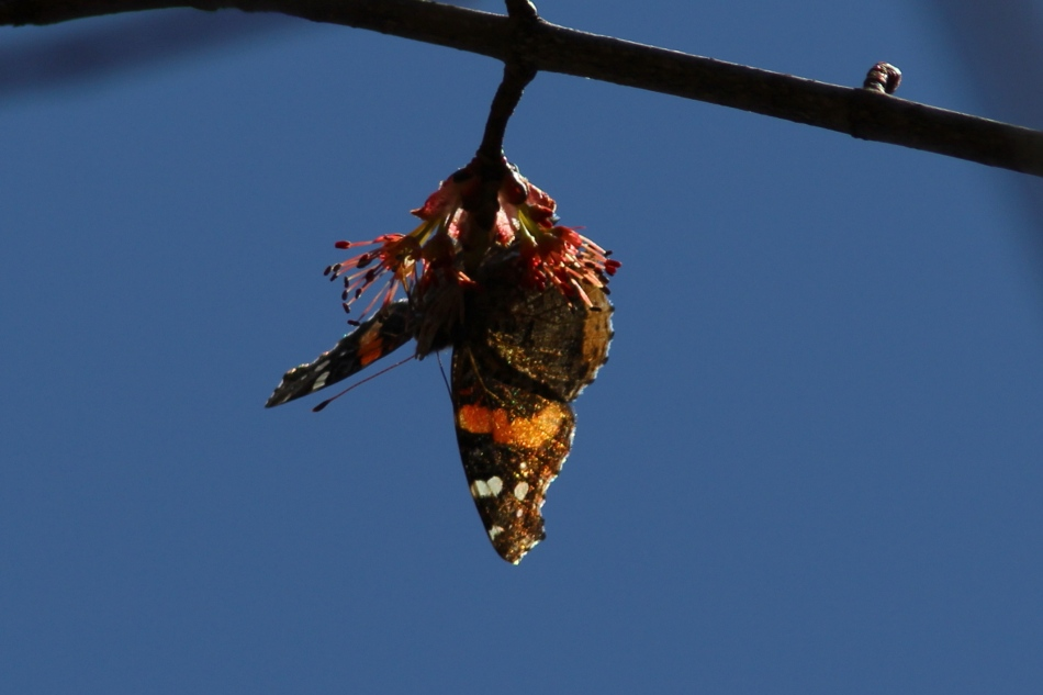 Red admiral butterfly?