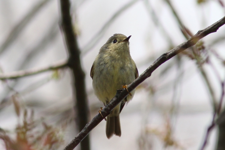 Ruby-crowned kinglet in a good mood