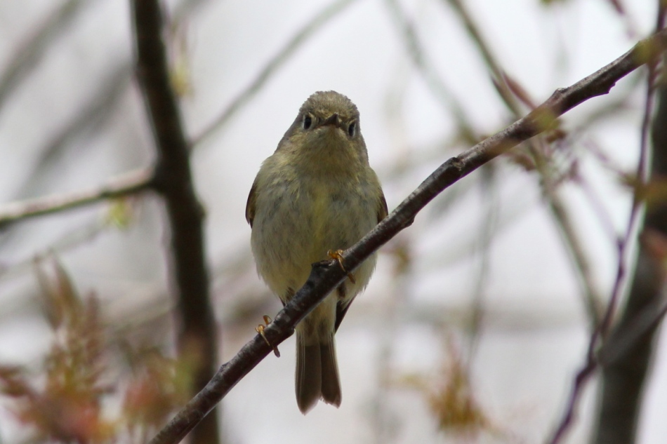 Ruby-crowned kinglet in a bad mood