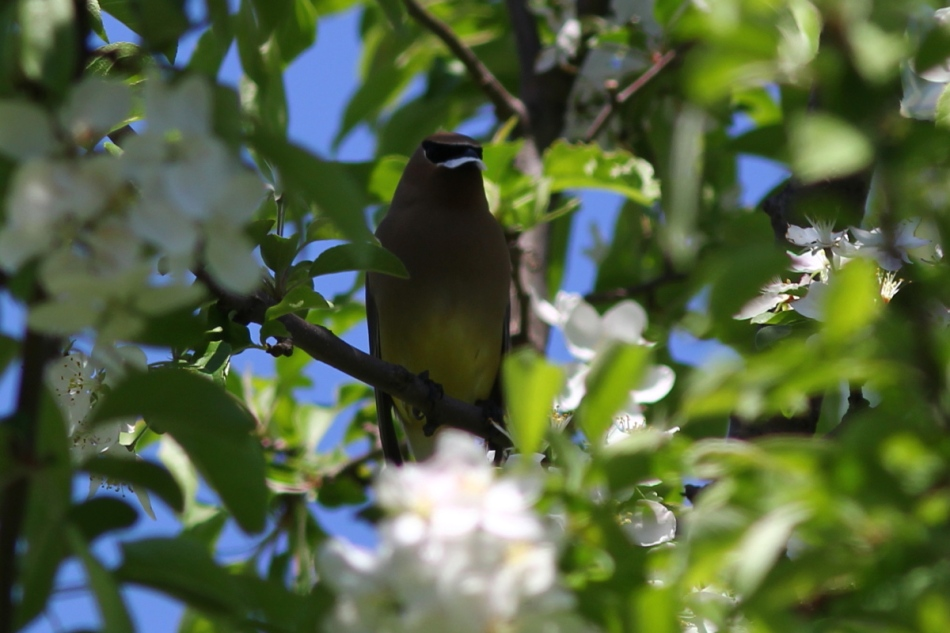 Cedar waxwing eating flowering tree flowers