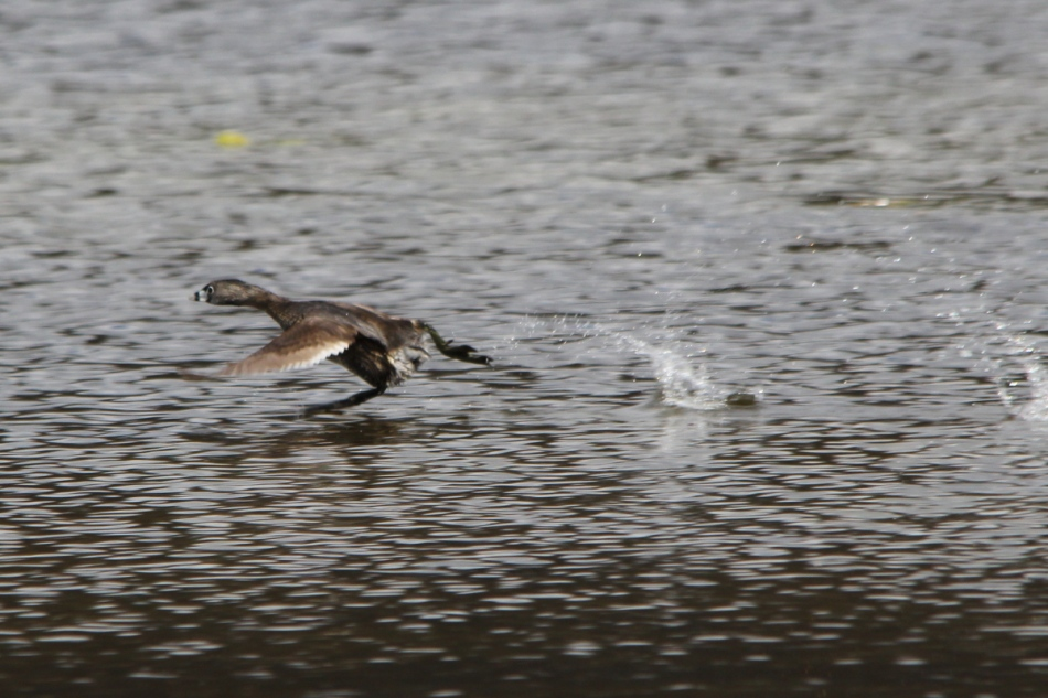 Pie billed grebe on the run