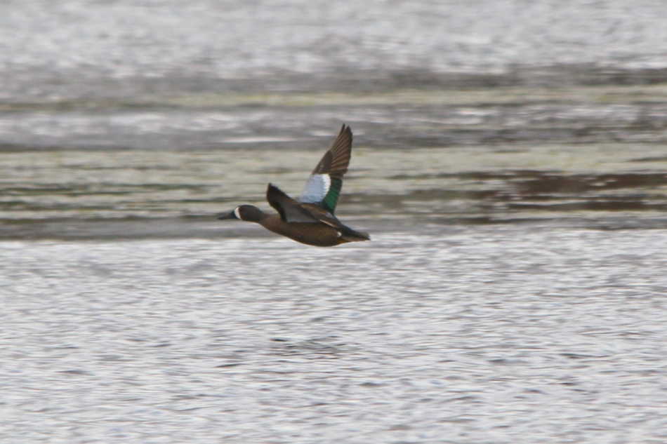 Male blue-winged teal in flight