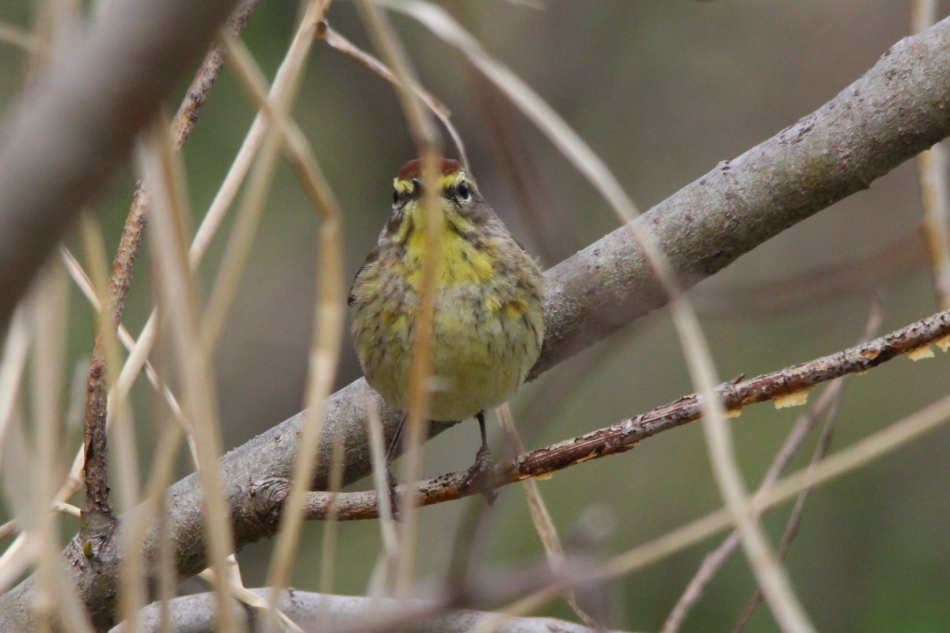 Palm warbler testing the Beast's ability to find it