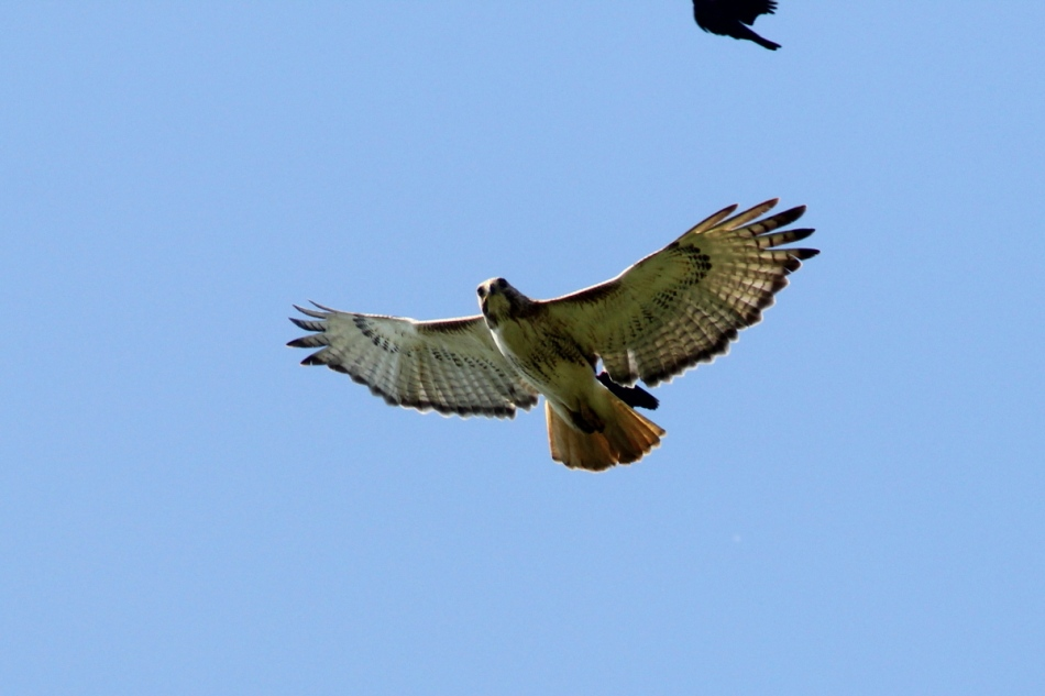 Red-tailed hawk attacked by red-winged blackbirds