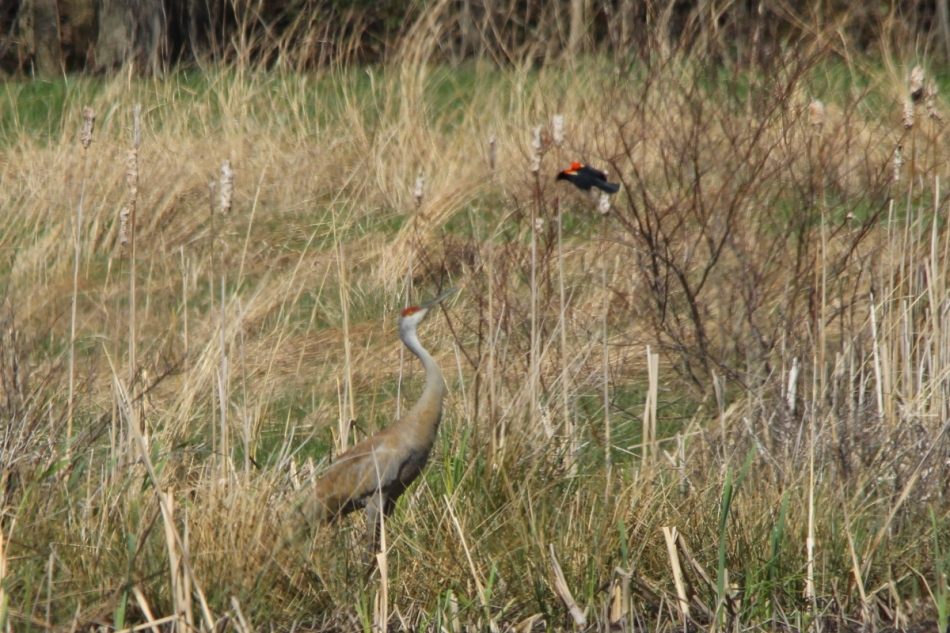 Red-winged blackbird attacking a sandhill crane