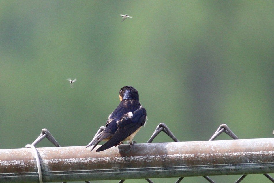 Barn swallow wondering if it can eat any more
