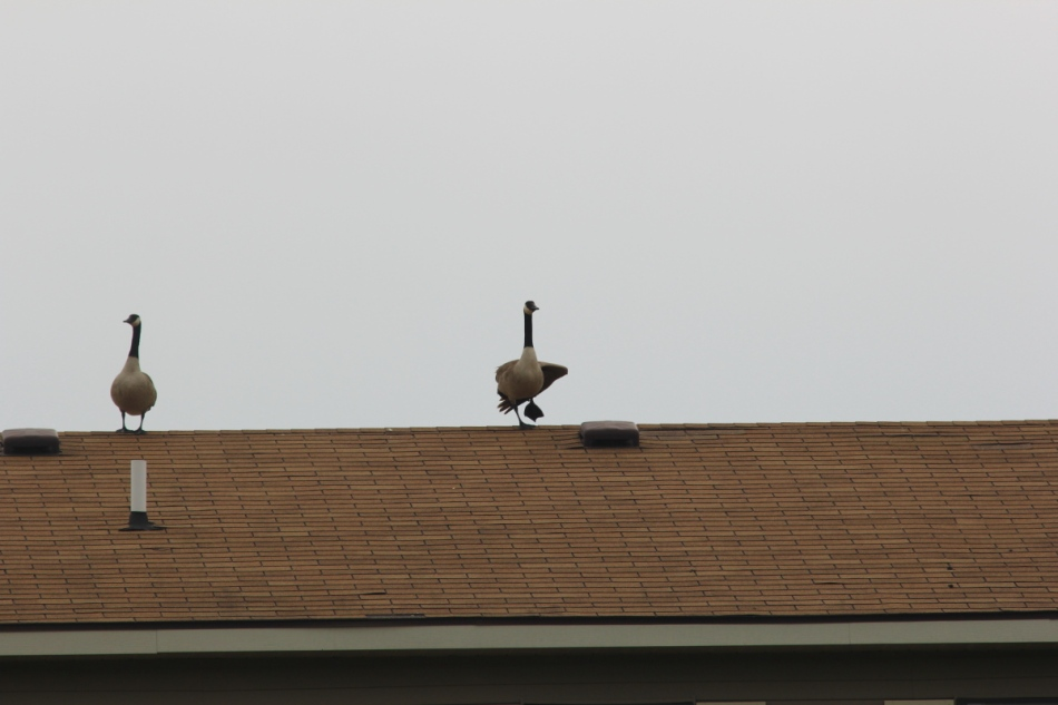 Canada goose performing yoga on top of a building