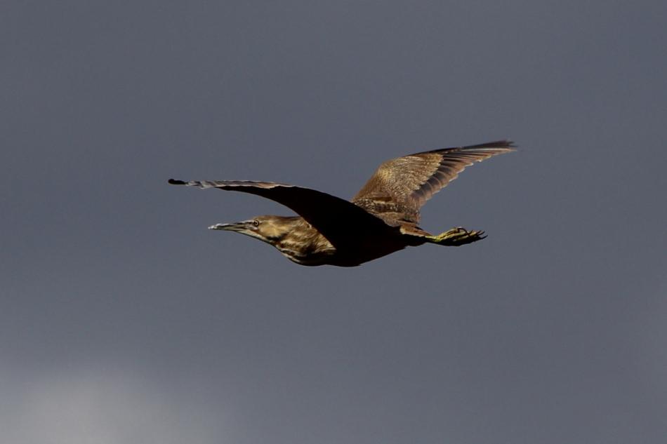 American bittern in flight