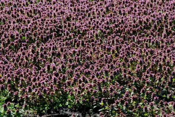 Dead nettle blooming