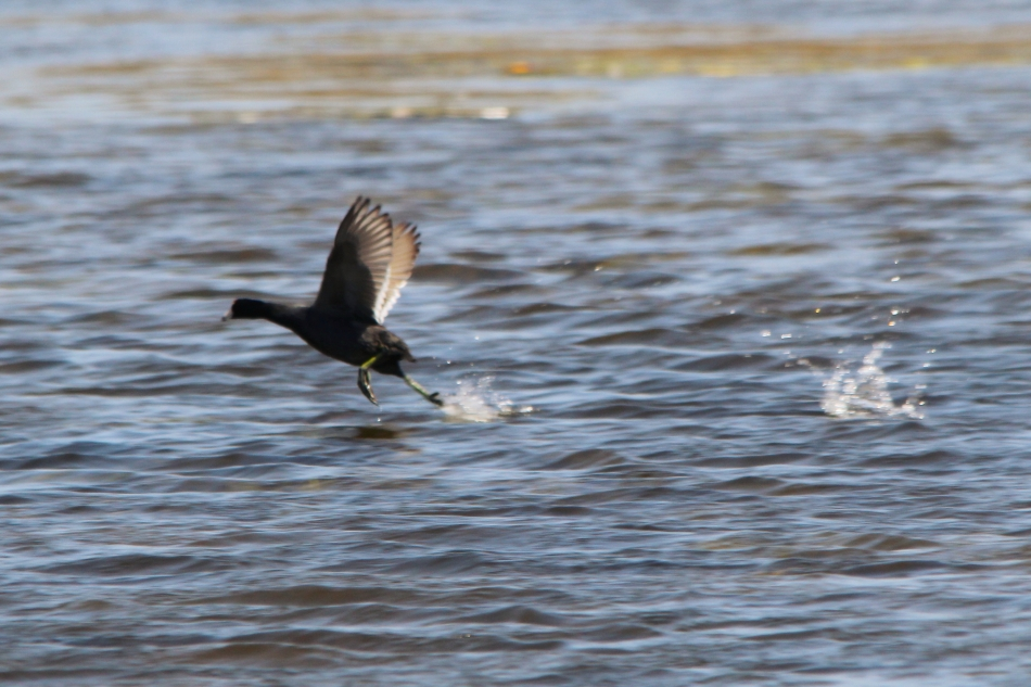 American coot taking off