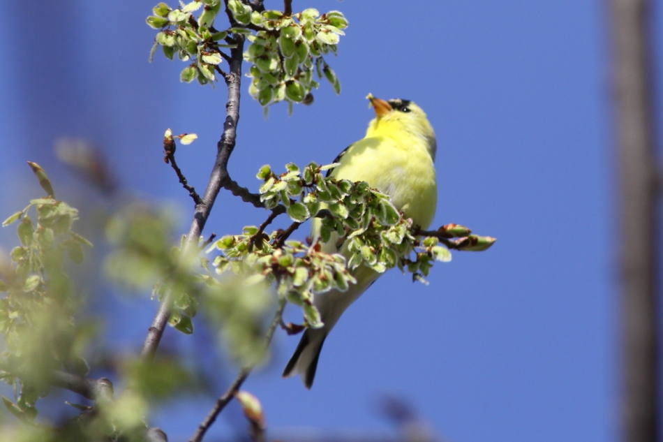 American goldfinch eating flowers