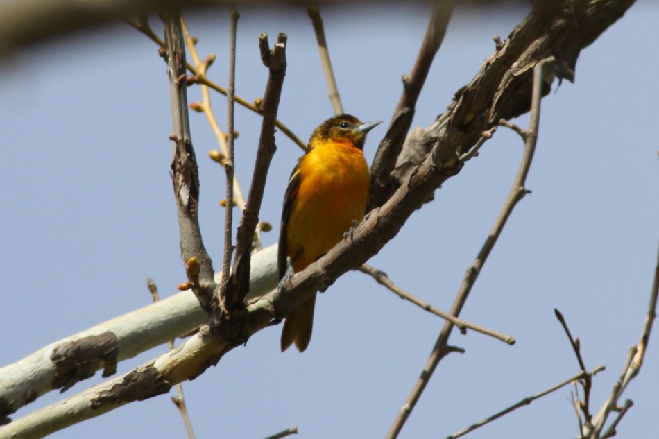First year male Baltimore oriole