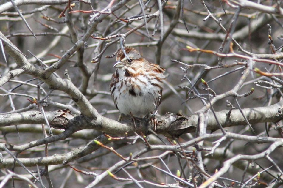 Song sparrow and thorn