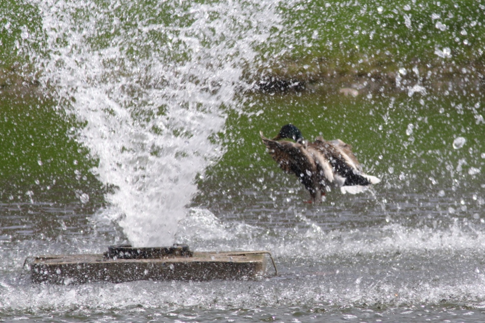 Male mallards fighting in the fountain