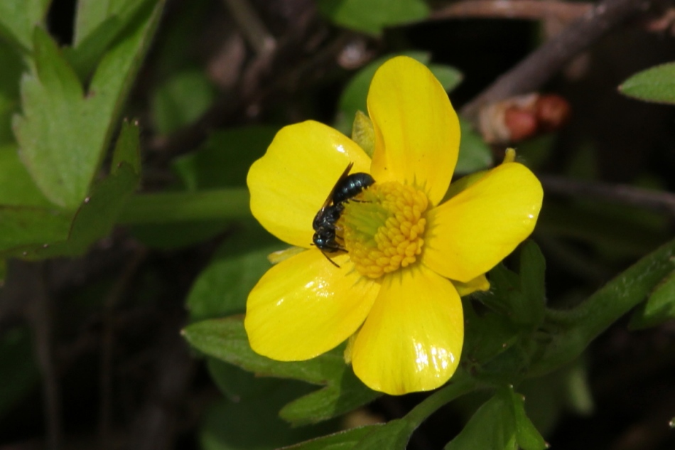Marsh marigold and bee or wasp