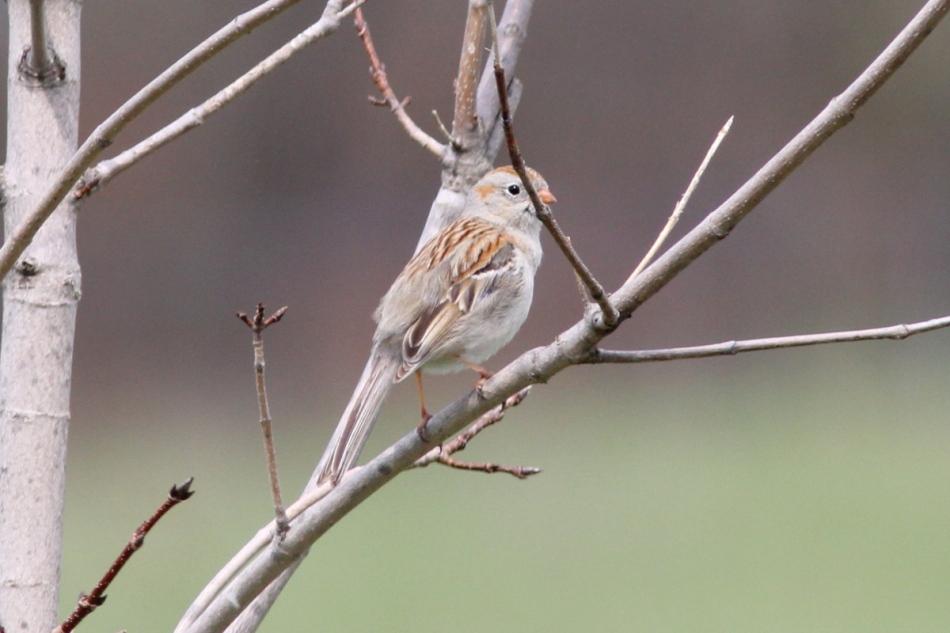 Male field sparrow