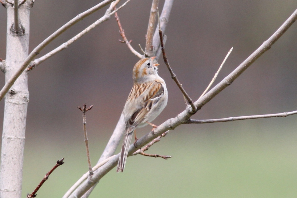 Male field sparrow singing