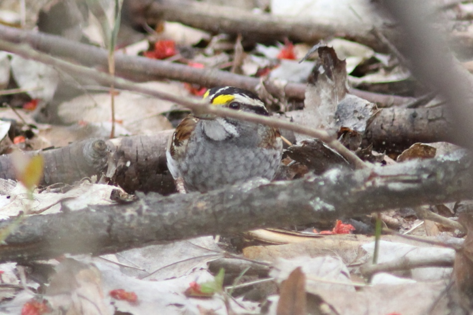 White-throated sparrow trying to hide