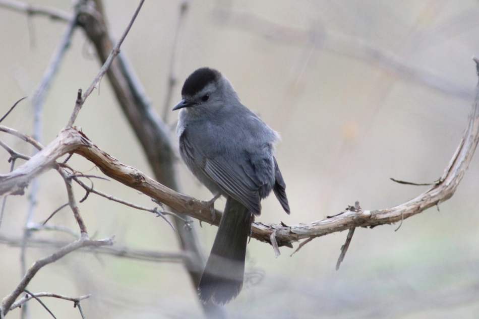 Male grey catbird