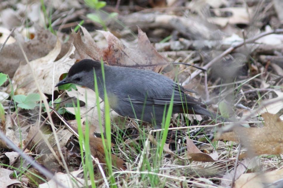 Male grey catbird singing