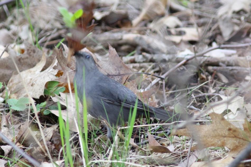 Male grey catbird singing throwing leaves around
