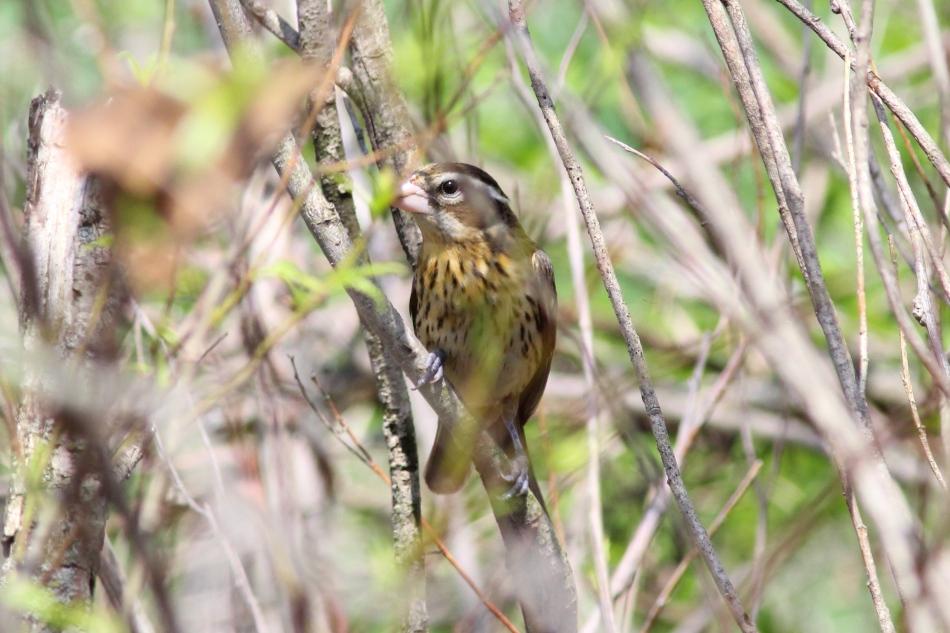 Female rose-breasted grosbeak