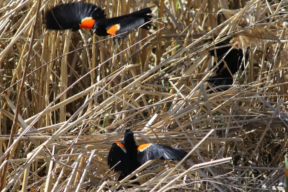Red-winged blackbird battle