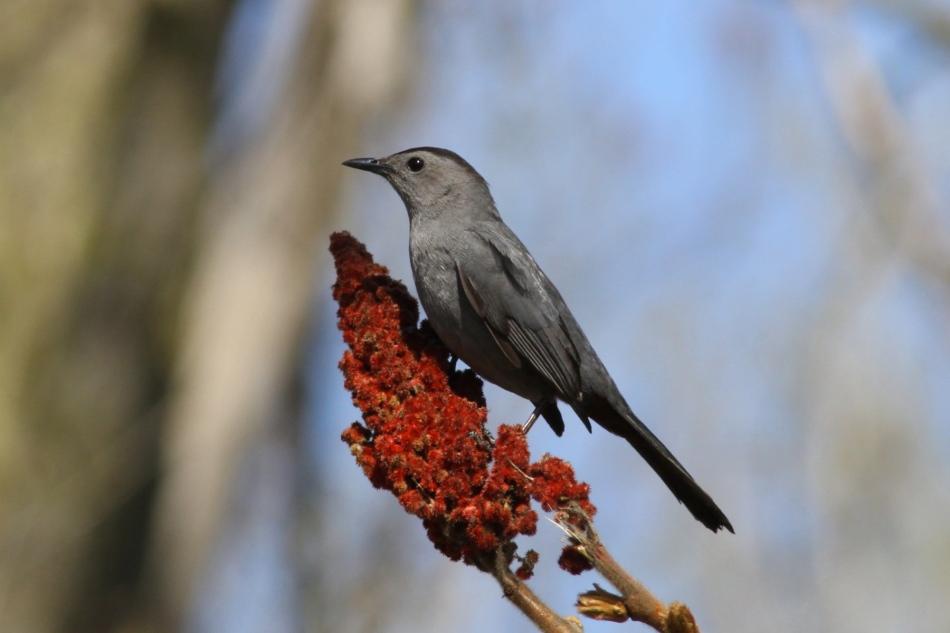 Grey catbird eating sumac