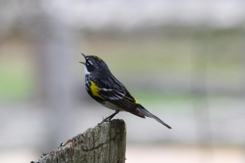 Yellow-rumped warbler singing