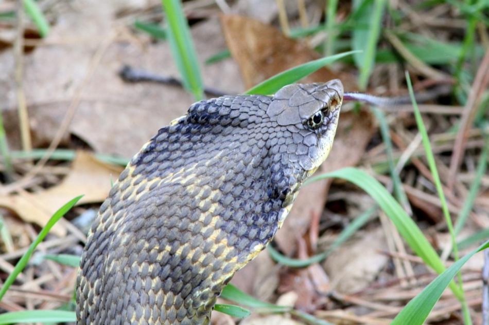 Eastern hog-nosed snake impersonating a cobra