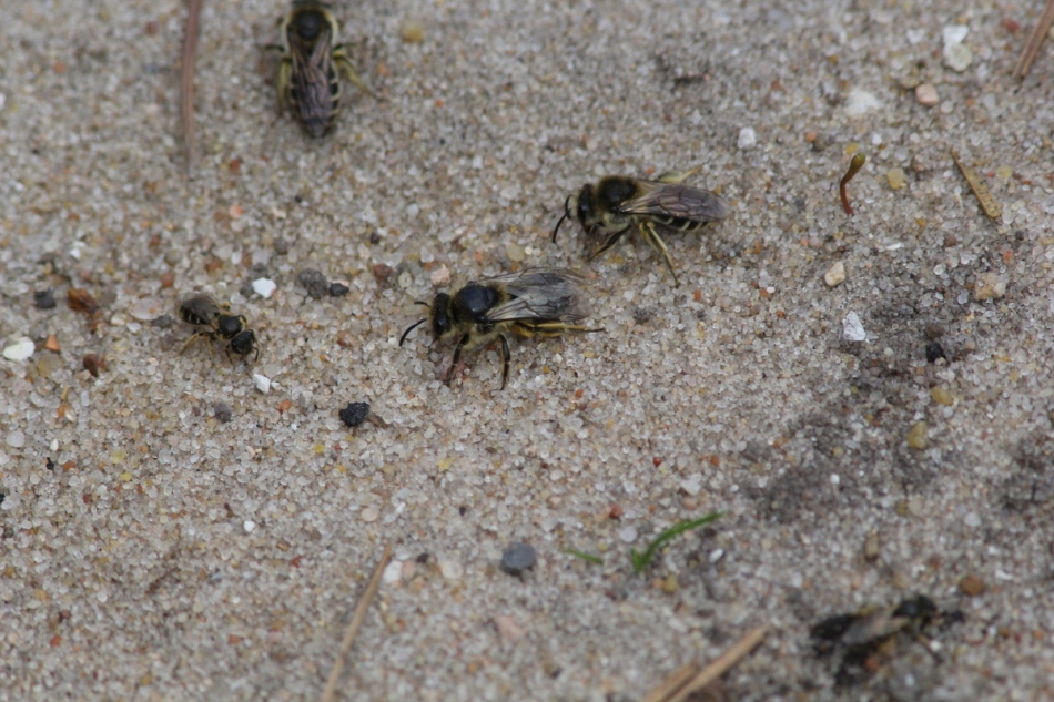 Bees in the sand