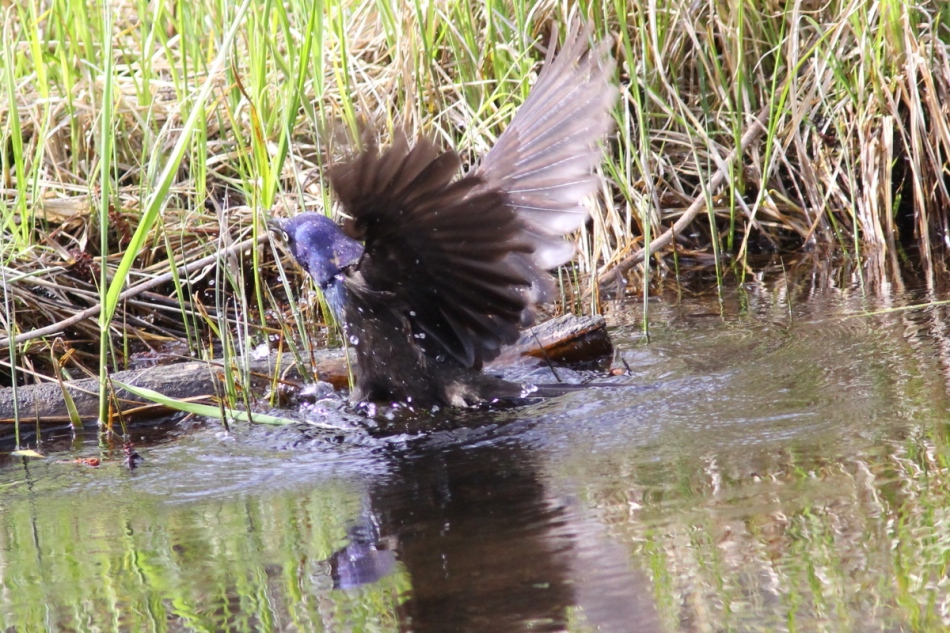 Common grackle coming out of the river