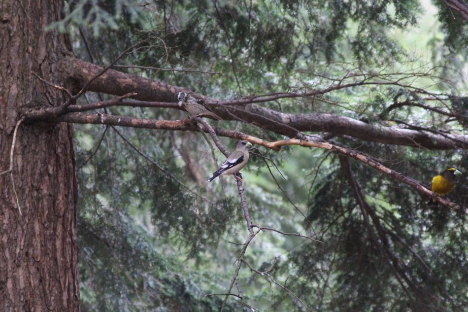 Assorted grosbeaks