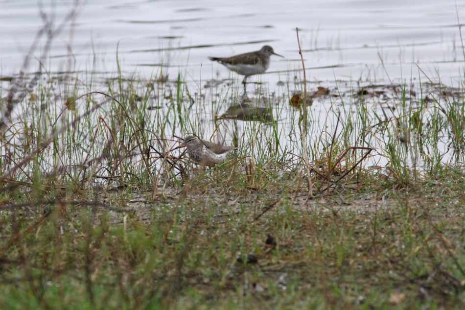 Spotted sandpiper and solitary sandpiper