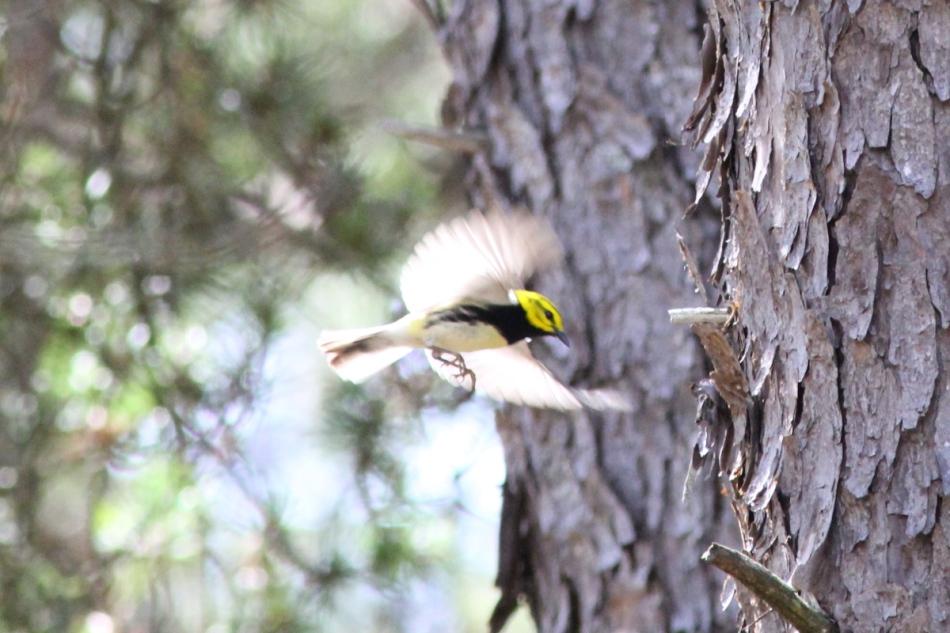 Black-throated green warbler in flight
