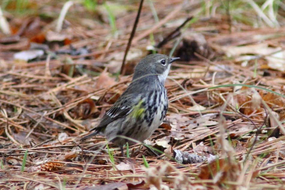 Yellow-rumped wabler