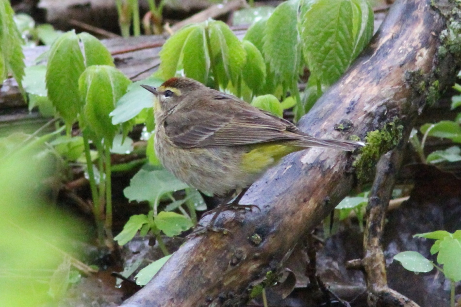 Palm warbler in the rain