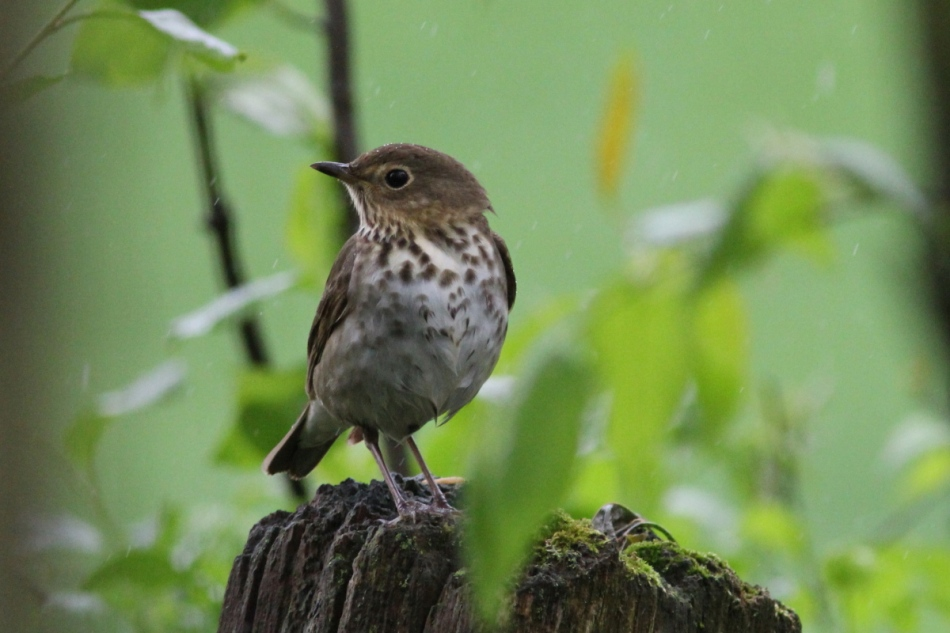 Hermit thrush in the rain