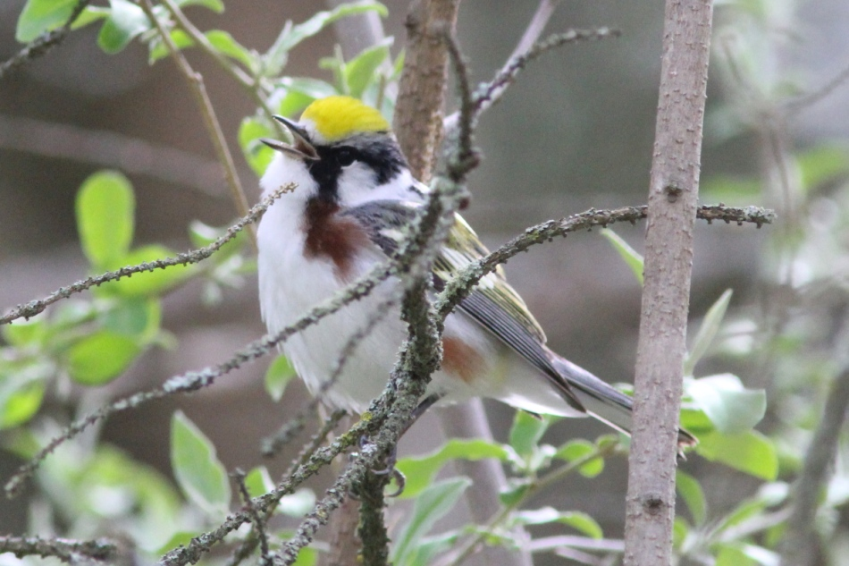 Chestnut sided warbler singing