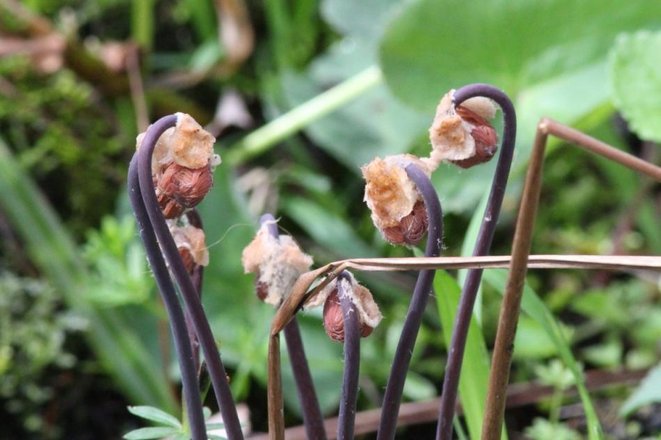 Unidentified ferns