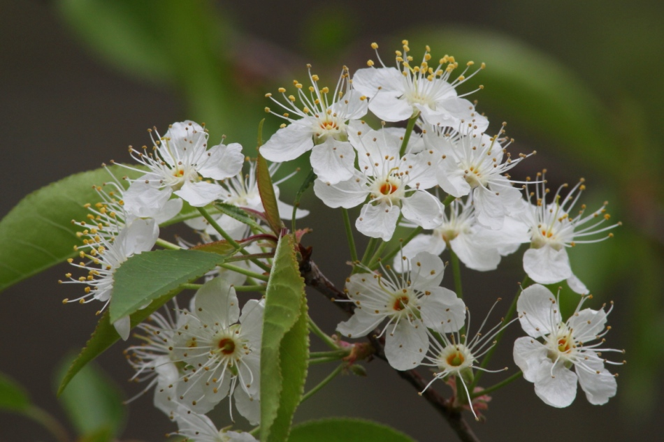 Fruit tree flowers