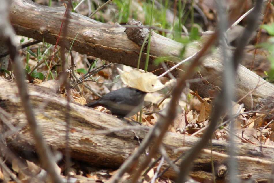 Grey catbird waving a leaf